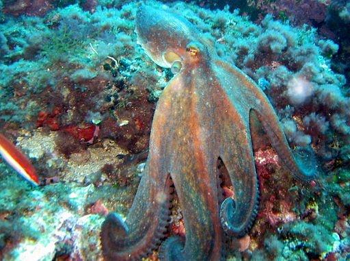 octopusvulgaris3.jpg
