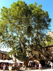le-roi-platane-saint-guilhem-le-desert-1-225x300